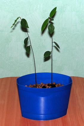 Лавр из семени в домашних условиях